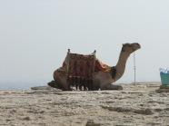 camel-water_thumb.jpg