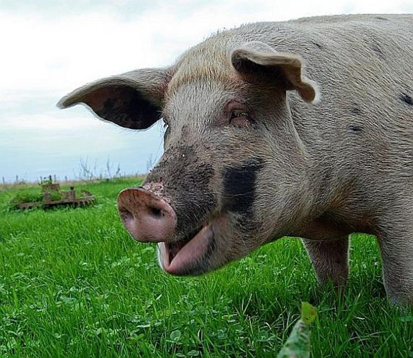 happy-pig
